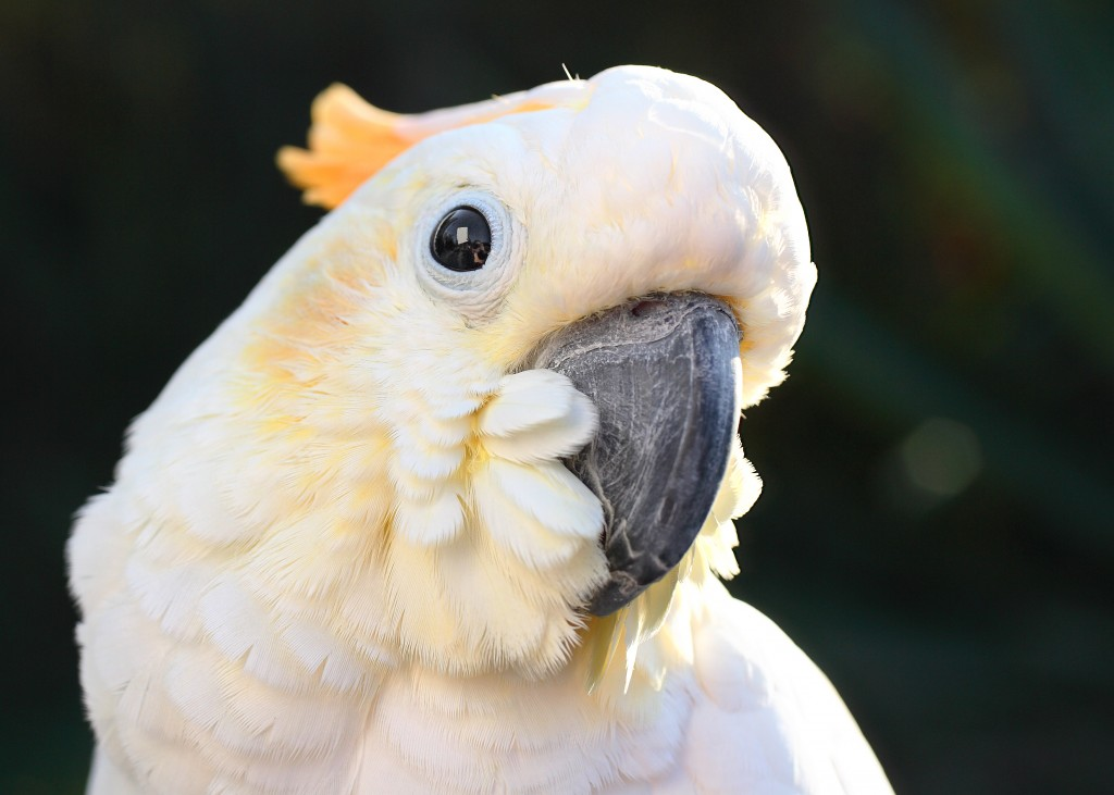 Frank Miles pet cockatoo